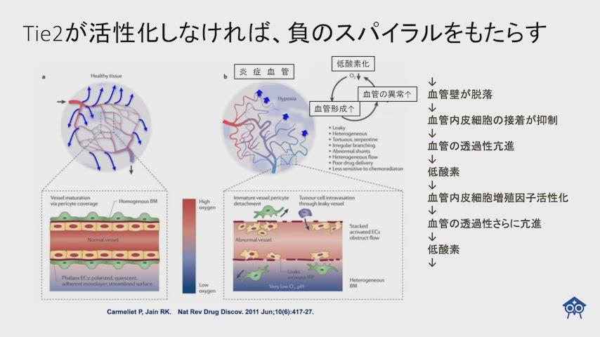 Tie2と毛細血管の関係