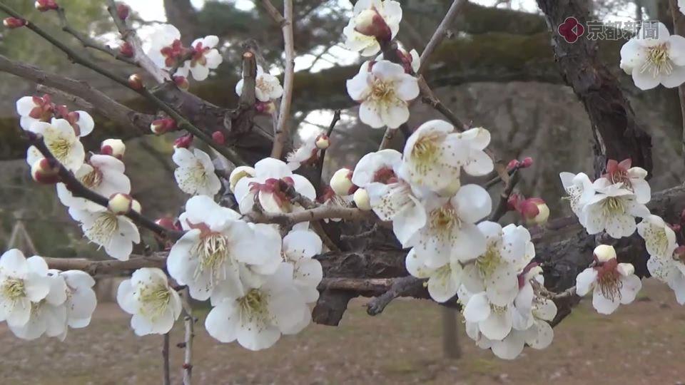 京都御苑の梅林(2017年2月22日)