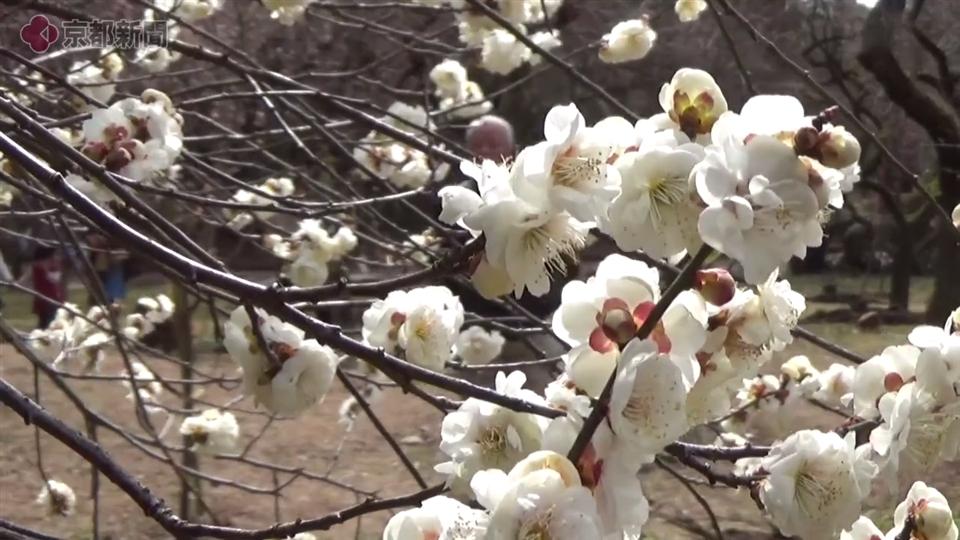 京都府立植物園の梅林(2018年3月3日)