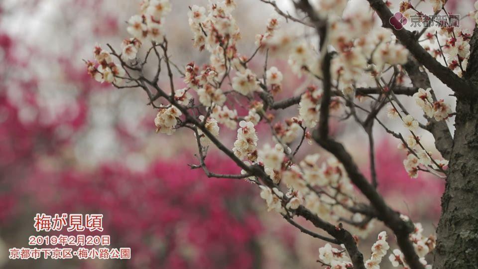 梅が見頃(2019年2月20日、京都市下京区・梅小路公園)