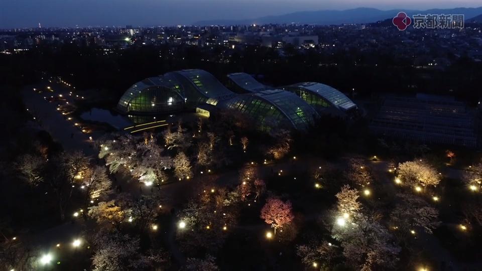 ドローン空撮企画ソラドリ「京都府立植物園の夜桜」(2019年4月11日)