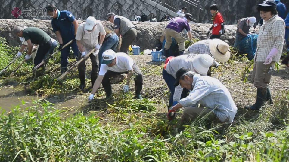 鴨川で外来植物の除去作業(2019年8月25日 京都市内)