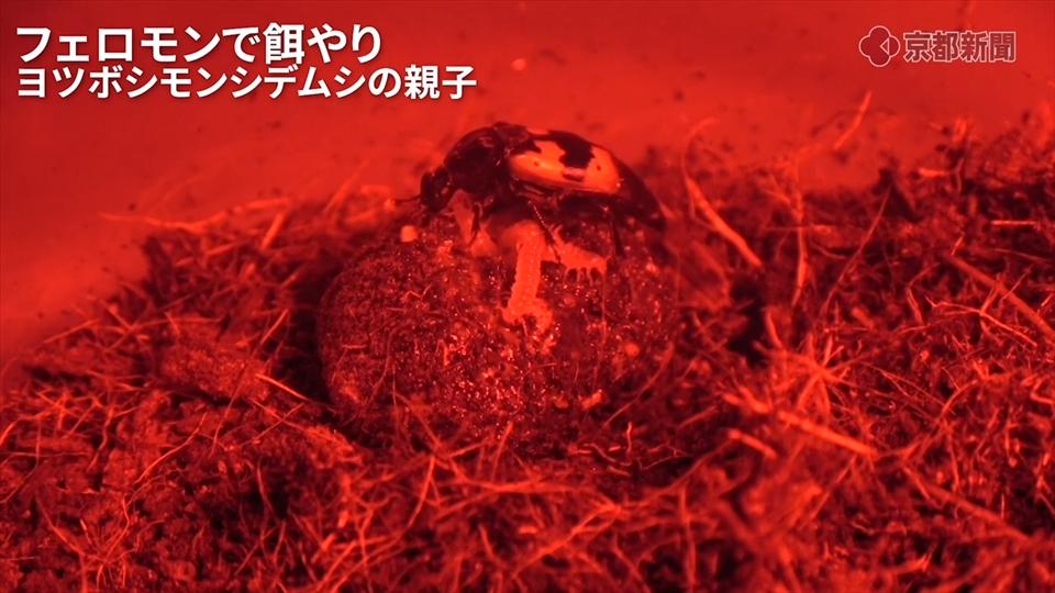 子育てする甲虫ヨツボシモンシデムシ、フェロモンで餌やり(2019年9月11日)