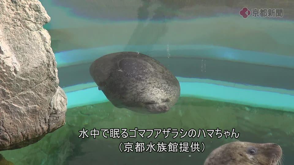 水中に浮くゴマフアザラシのハマちゃん(京都水族館提供)