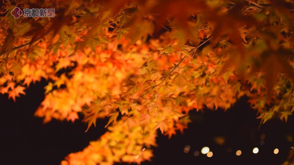 京都府立植物園ライトアップ(2019年11月14日 京都市左京区)