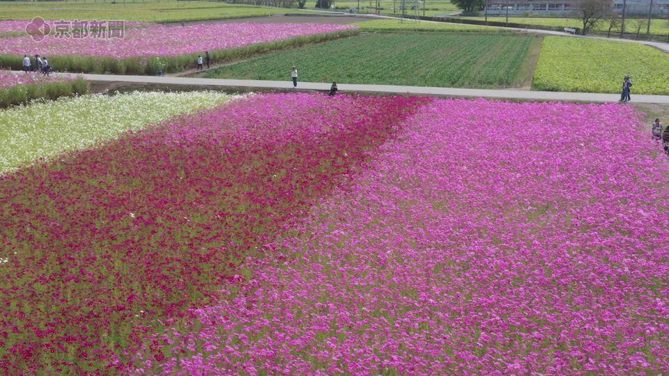 ドローン空撮企画ソラドリ「野田町のコスモス畑」(2019年10月10日撮影 近江八幡市)