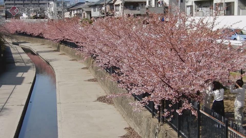 淀の河津桜(2020年2月24日 京都市伏見区)