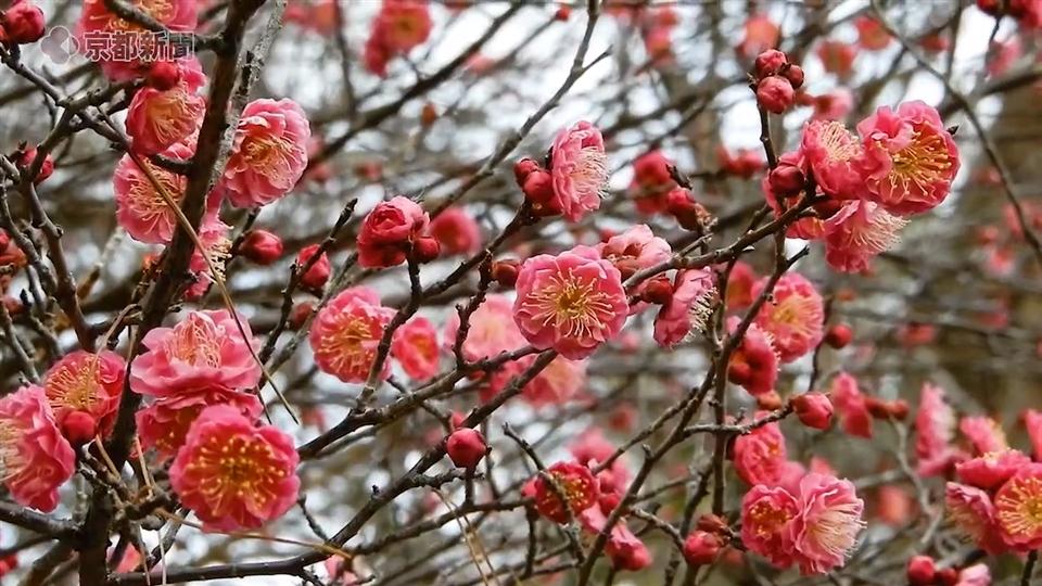 嵐山・亀山公園の梅(2020年1月21日 京都市右京区)