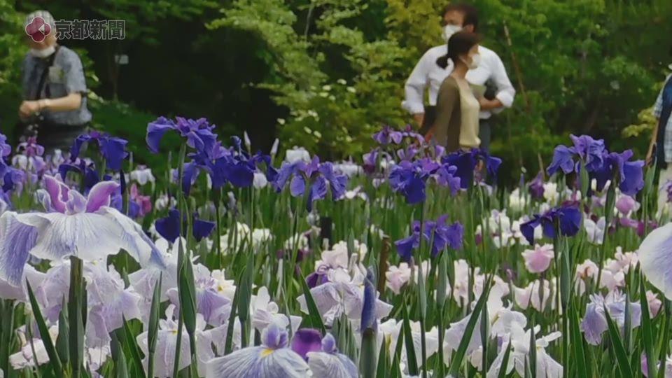 ハナショウブなど初夏の花が見頃(2020年6月1日 京都市左京区・京都府立植物園)