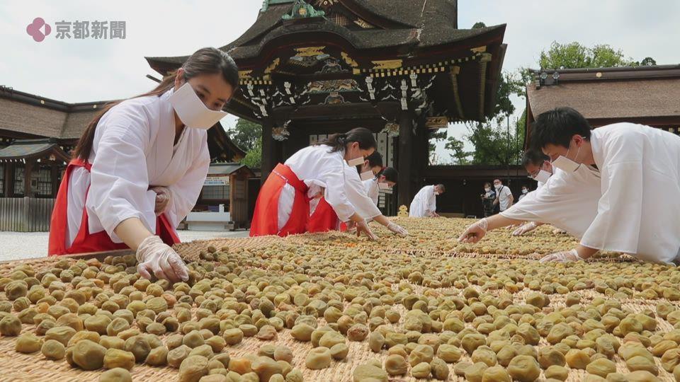 梅の実の「土用干し」(2020年8月3日 京都市上京区・北野天満宮)