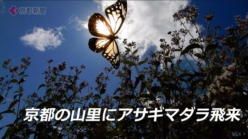 アサギマダラ飛来(2020年9月28日 京都市右京区)
