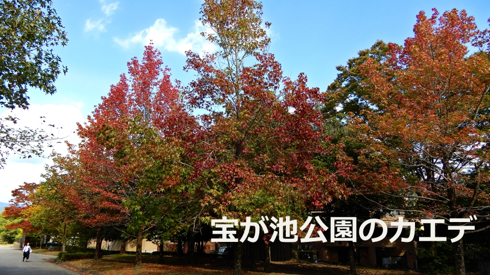 宝が池公園のカエデ(2020年10月21日 京都市左京区)