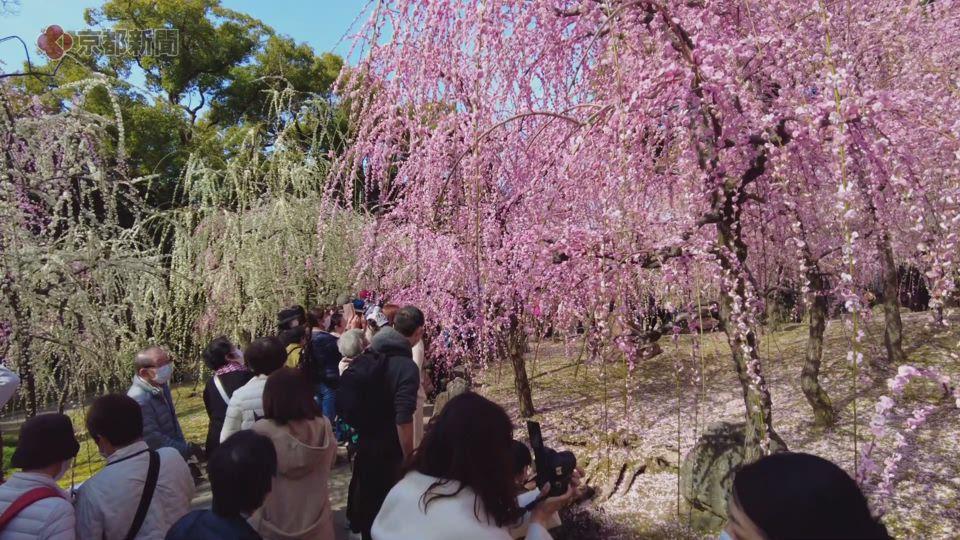 城南宮・神苑の「しだれ梅」(2021年3月1日 京都市伏見区)