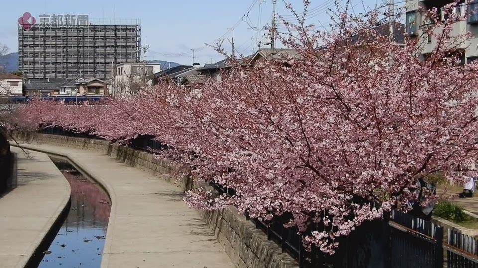 淀の河津桜(2021年2月27日 京都市伏見区)