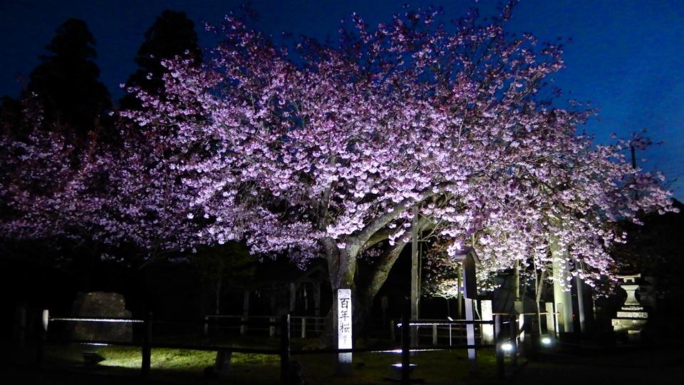 「黒田の百年桜」ライトアップ(2021年4月10日 京都市右京区京北・春日神社)