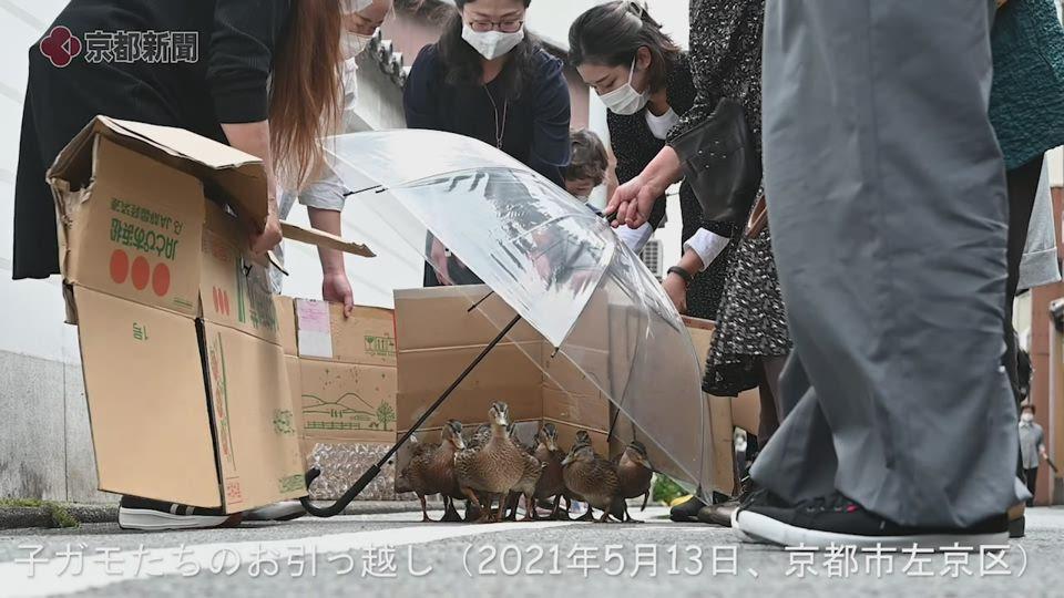 子ガモたちのお引っ越し(2021年5月13日、京都市左京区)